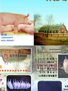 养猪的画册图片