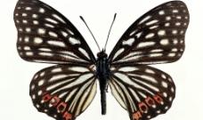 蝴蝶046图片