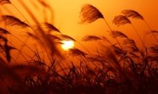 日落芦苇图片