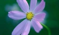 微紫花朵图片