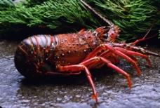 澳洲大虾图片