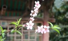 桃花5图片