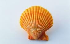 高精度漂亮贝壳图片