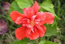 美丽红花图片