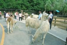 大连森林动物园-散养动物图片