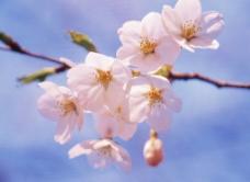 桃花香图片