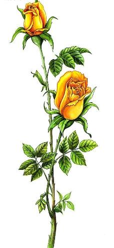 手绘黄玫瑰图片