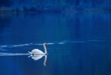美丽的天鹅图片