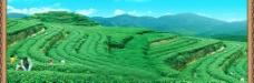 茶山1图片